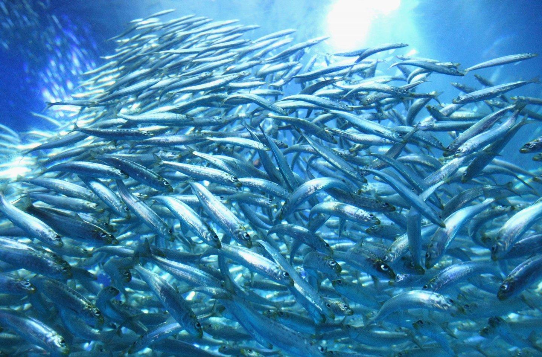 YOKOHAMA, JAPAN - MARCH 19:  Shoal of sardines swim in the new tank at Yokohama Hakkeijima Sea Paradise on March 19, 2009 in Yokohama, Japan. The display starts as a part of Yokohama Port 150 year anniversary celebration.  (Photo by Junko Kimura/Getty Images)