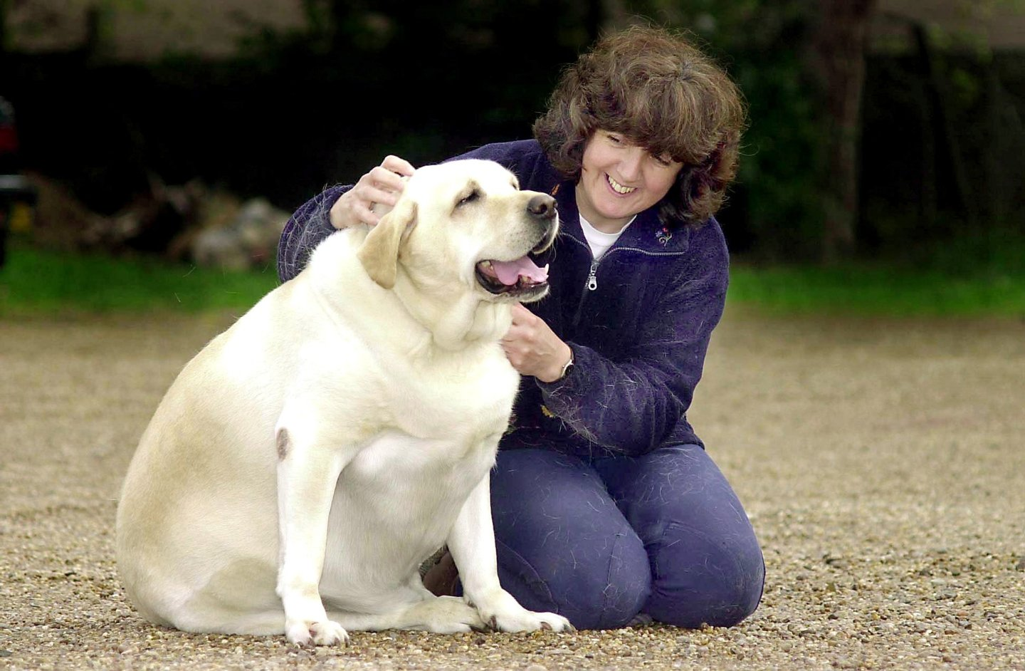 Dog owner Becky Jones pets four year-old labrador Chubby Charlie in Northfield Birmingham, United Kingdom, October 24, 2001. Chubby Charlie is forced to go on a crash diet after ballooning to an astonishing 168 pounds. (Photo by Mike Thomas/Express Newspapers/Getty Images)