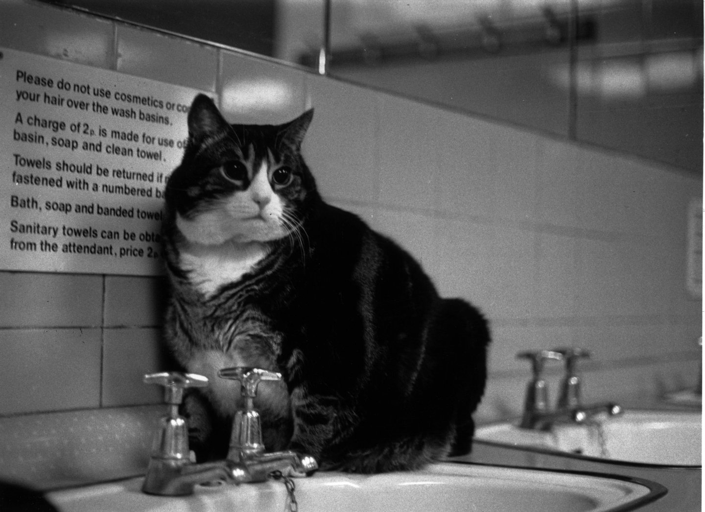 9th September 1978:  Tiddles, the famous fat cat which lived in the public lavatories at Paddington Station, London.  (Photo by Chris Moorhouse/Evening Standard/Getty Images)