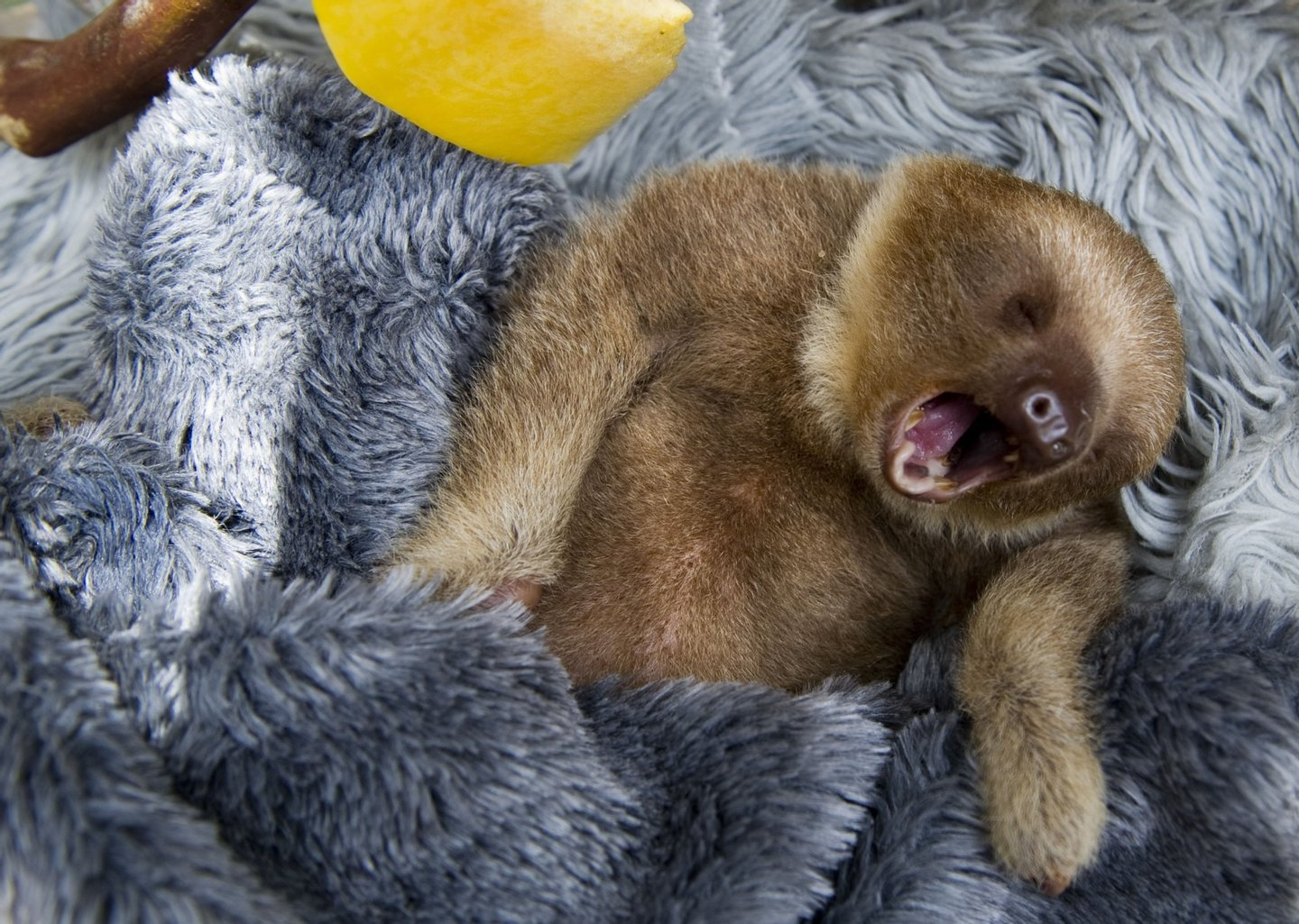 A baby two-toed sloth (Choloepus) yawns at the Aiunau Foundation in Caldas, some 25 km south of Medellin, Antioquia department, Colombia on September 15, 2012. Croatian scientist Tinka Plese created the foundation 10 years ago, where sloths --which have been captured by illegal wildlife traffickers and then sold to people between US40 to 150 dollars-- are rescued, rehabilitated and released. More than 700 sloths have been released to date. AFP PHOTO/Raul ARBOLEDA        (Photo credit should read RAUL ARBOLEDA/AFP/GettyImages)