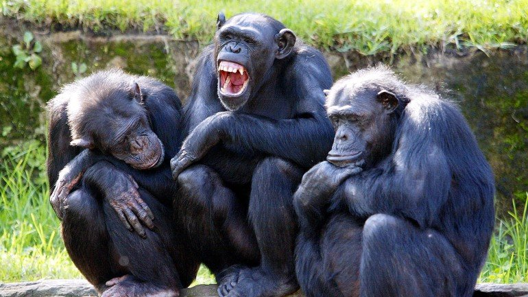 A female chimpanzee (C) yawns as two others nod-off, while they sit on rocks in a family group, with the sun on their backs in their open air enclosure at the Taronga Zoo in Sydney, 26 April 2005.  The special open air chimpanzee enclosure, which opened in 1980, is home to nineteen chimps and recognised internationally as one of the most significant in the world with such a successful breeding record as well as having been one of the first zoological gardens to house and exhibit chimpanzee in a group situation.   AFP PHOTO/Rob ELLIOTT (Photo credit should read ROB ELLIOTT/AFP/Getty Images)