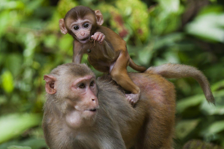 Os macacos rhesus são usados como modelos em algumas experiências - Ye Aung Thu/AFP/Getty Images