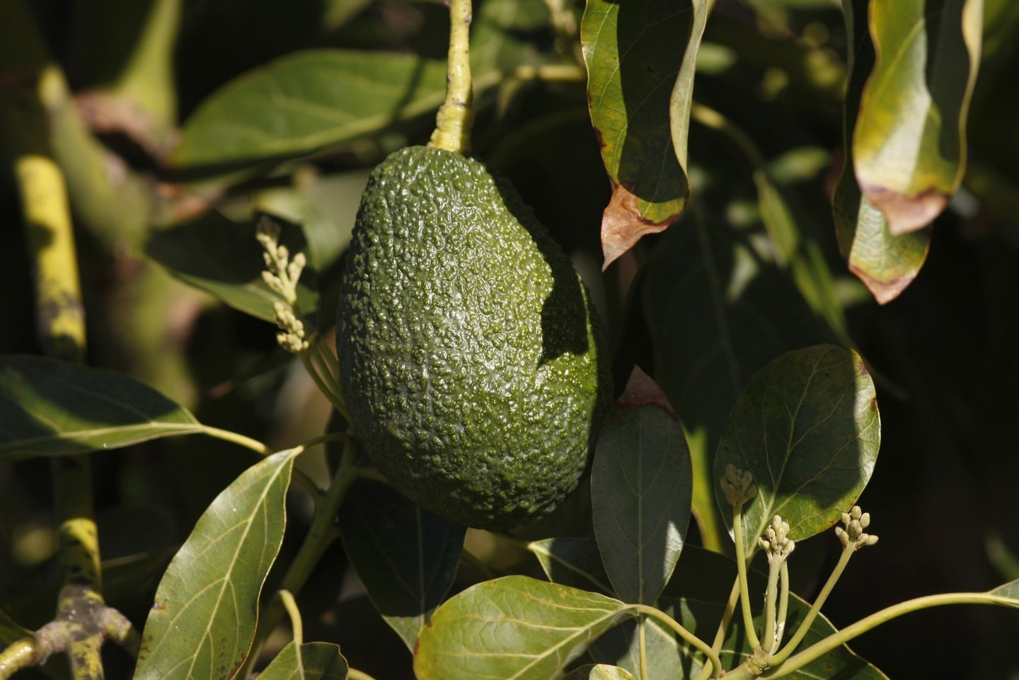VALLEY CENTER, CA - MARCH 5:  An avocado hangs from a tree at a farm in Pauma Valley on March 5, 2014 near Valley Center, California. The Chipotle restaurant chain 2013 annual report concludes that increasing weather volatility as well as weather pattern changes and global climate change could have a significant impact on the price or availability of some of their ingredients. As the costs of basics like avocados rise, Chipotle may reluctantly choose to temporarily drop some items from their menu such as guacamole and one or more salsas. Chipotle reportedly uses 97,000 pounds of avocados per day, about 35.4 million pounds per year.   (Photo by David McNew/Getty Images)