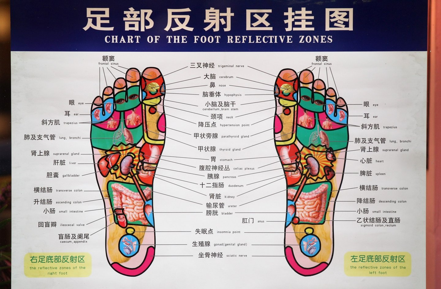 LONDON, ENGLAND - FEBRUARY 01:  The reflexology zones of the foot are displayed in the window of a medical store in the Chinatown area of Westminster on February 1, 2011 in London, England. The Chinese community in London is preparing to celebrate the Chinese New Year of the Rabbit on February 3, 2011.   (Photo by Oli Scarff/Getty Images)