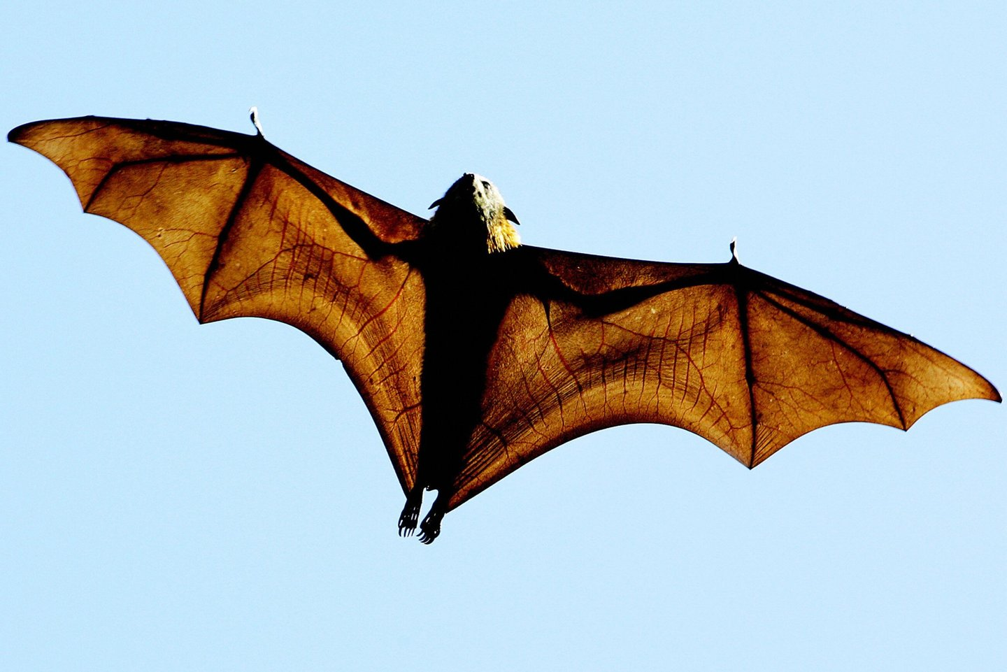 SYDNEY, AUSTRALIA:  A grey-headed Flying-fox morego (Pteropus poliocephalus), a native Australian bat, stretches its leathery wings as it flies high over Sydney's Botanical Gardens, 17 August 2005. The bats settled in the gardens many years ago as much of their natural habitat along the coast of New South Wales has been cleared for timber, agriculture and urban development. At night the bats feed on the fruits of many native plants and provide an important function as they are one of the few species that pollinate flowers and disperse the seeds.  AFP PHOTO/Greg WOOD  (Photo credit should read GREG WOOD/AFP/Getty Images)