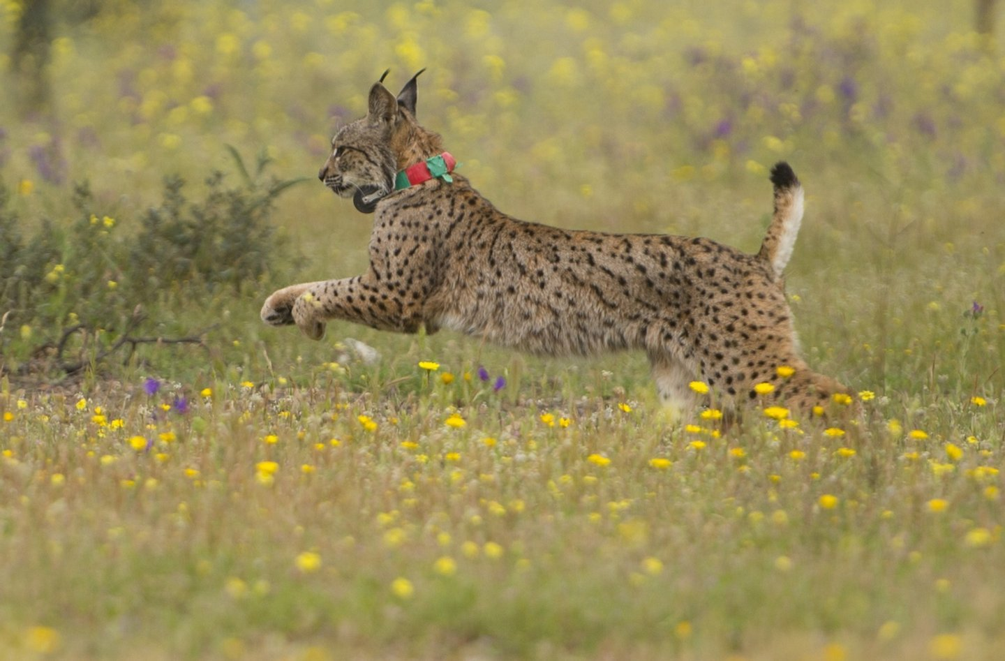 Iberian lynx Lila takes its first steps after being released on a farm near the village of Mazarambros near Toledo on April 24, 2015 part of an initiative to repopulate the endangered species. AFP PHOTO / PIERRE-PHILIPPE MARCOU        (Photo credit should read PIERRE-PHILIPPE MARCOU/AFP/Getty Images)