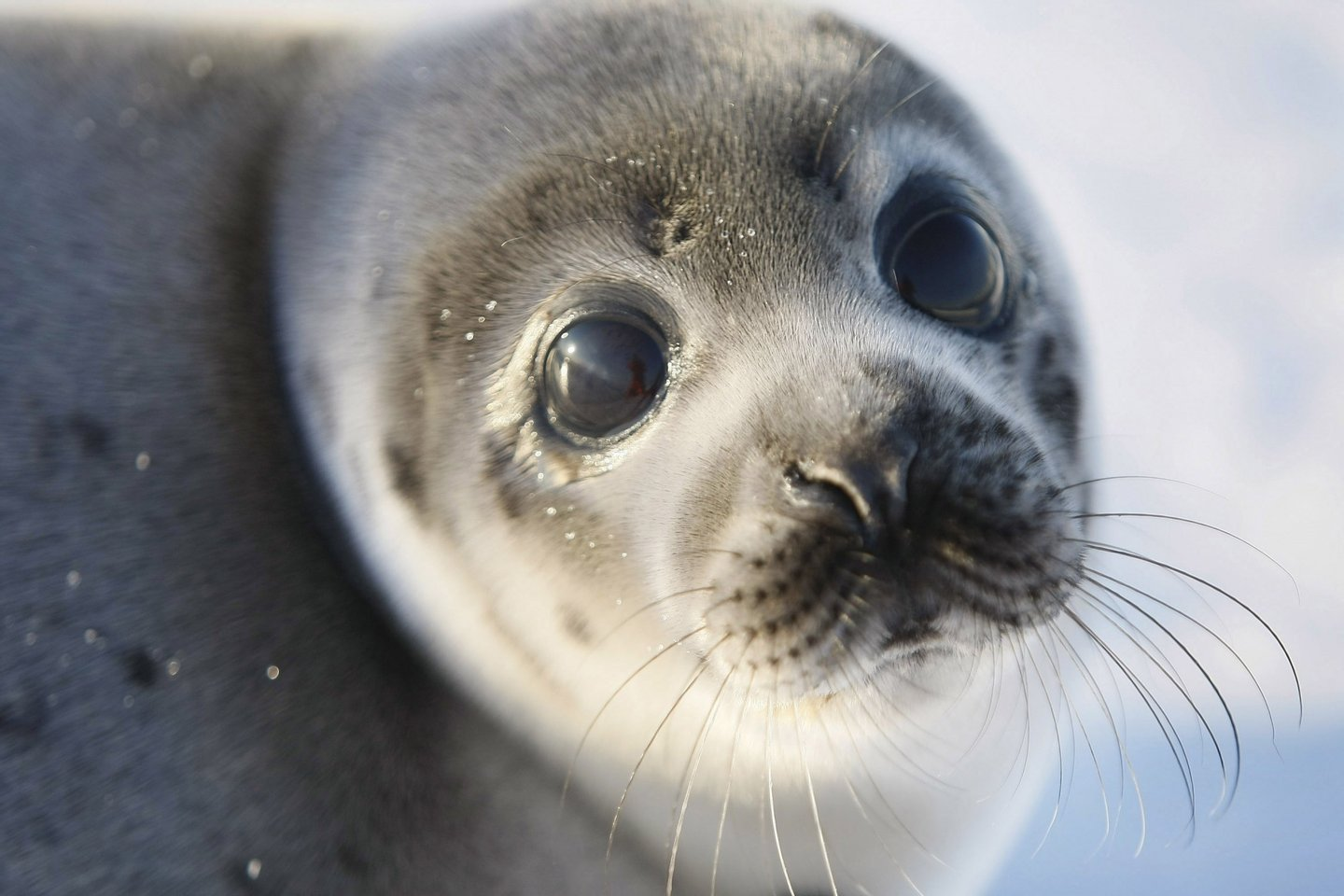 CHARLOTTETOWN, CANADA - MARCH 27:  A Harp seal pup lies on an ice floe March 27, 2008 in the Gulf of Saint Lawrence in Canada. Canada's seal hunt is expected to start tomorrow and the government has said this year 275,000 harp seals can be harvested. Many animal protection organizations have condemned the Canadian Department of Fisheries and Oceans following its announcement of the 2008 commercial seal hunt quota .  (Photo by Joe Raedle/Getty Images)