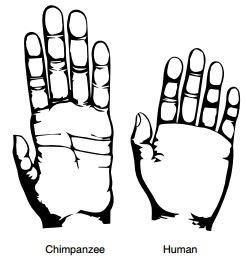 Imagem que ilustra a diferença entre a mão de um chimpanzé (à esquerda) e a de um humano - Almecija et al. (2015) Nature Comm