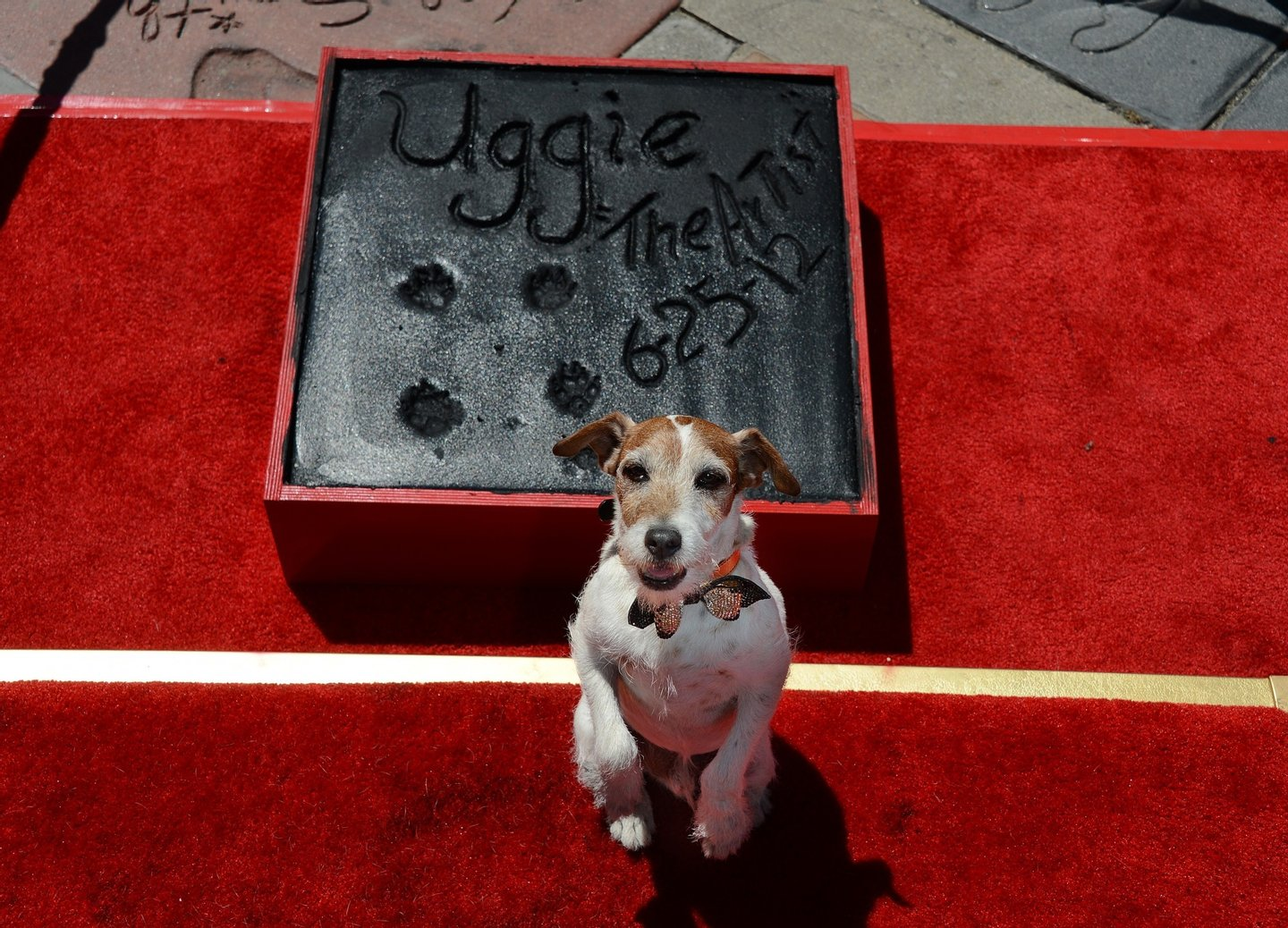 """Uggie, the dog who starred in the Academy Award-winning film """"The Artist,"""" is honored with a hand and paw print ceremony outside Grauman's Chinese Theatre in Hollywood, California, June 25, 2012. The ceremony marked Uggie's retirement from acting.    AFP PHOTO/ROBYN BECK        (Photo credit should read ROBYN BECK/AFP/GettyImages)"""