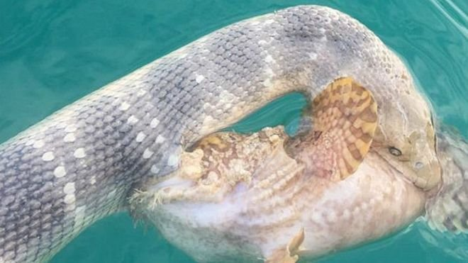 150831112540_fish_and_snake_caught_mid-battle__624x351_ricktrippe_nocredit