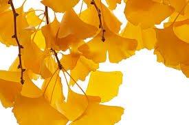 Uma árvore muito presente nas ruas das nossas cidades, a Ginkgo, fácil de identificar pelas suas folhas em forma de leque que, no outono, se tornam amarelo vivo