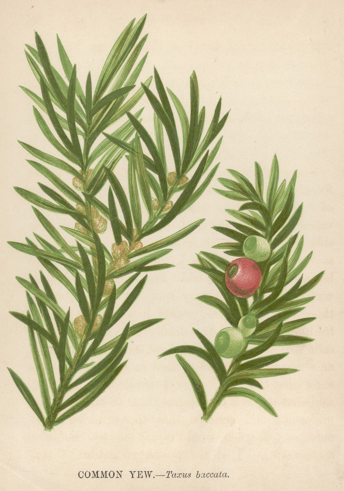Illustration entitled 'Common Yew - Taxus baccata', depicting flat small leaves, and seed cones, which appear like small red berries, circa 1850. (Photo by Hulton Archive/Getty Images)
