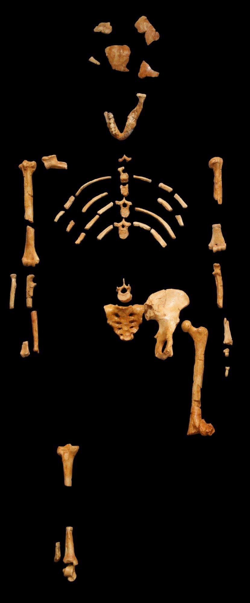Um dos modelos que reproduzem o esqueleto encontrado na Etiópia