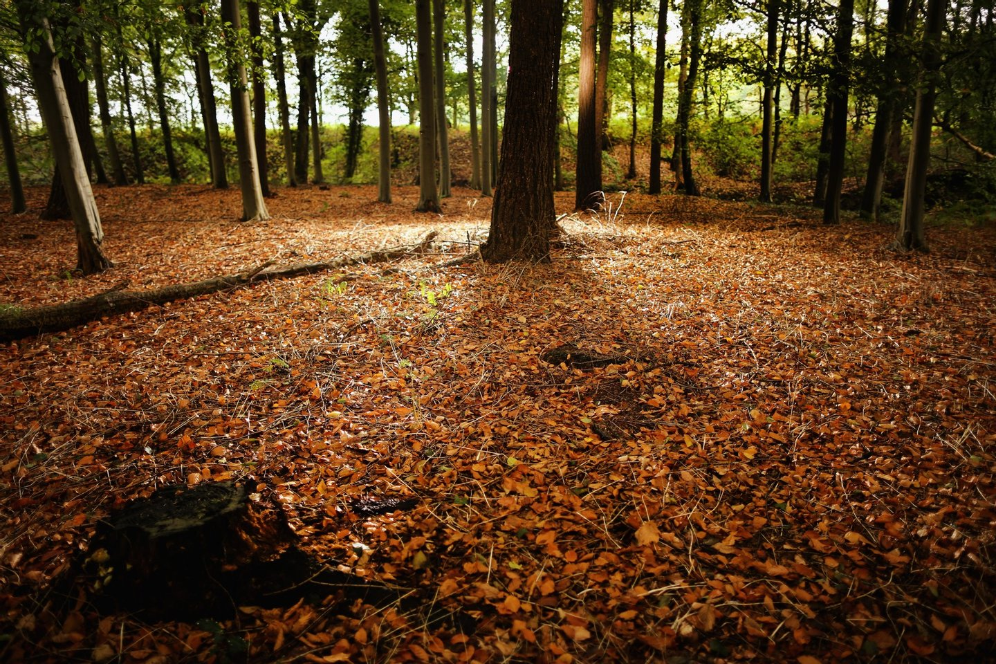 KNUTSFORD, UNITED KINGDOM - OCTOBER 21: Autumnal leaves carpet a woodland floor in the Cheshire countryside on October 21, 2013 in Knutsford, United Kingdom. The mild weather in the United Kingdom has delayed Autumn by up to two weeks according to statistics by The Woodland Trust. Members of the public have submitted their observations to the trust's Nature's Calendar which shows that the traditional Autumn tints are finally appearing on ash, elder, oak and horse chestnut. (Photo by Christopher Furlong/Getty Images)