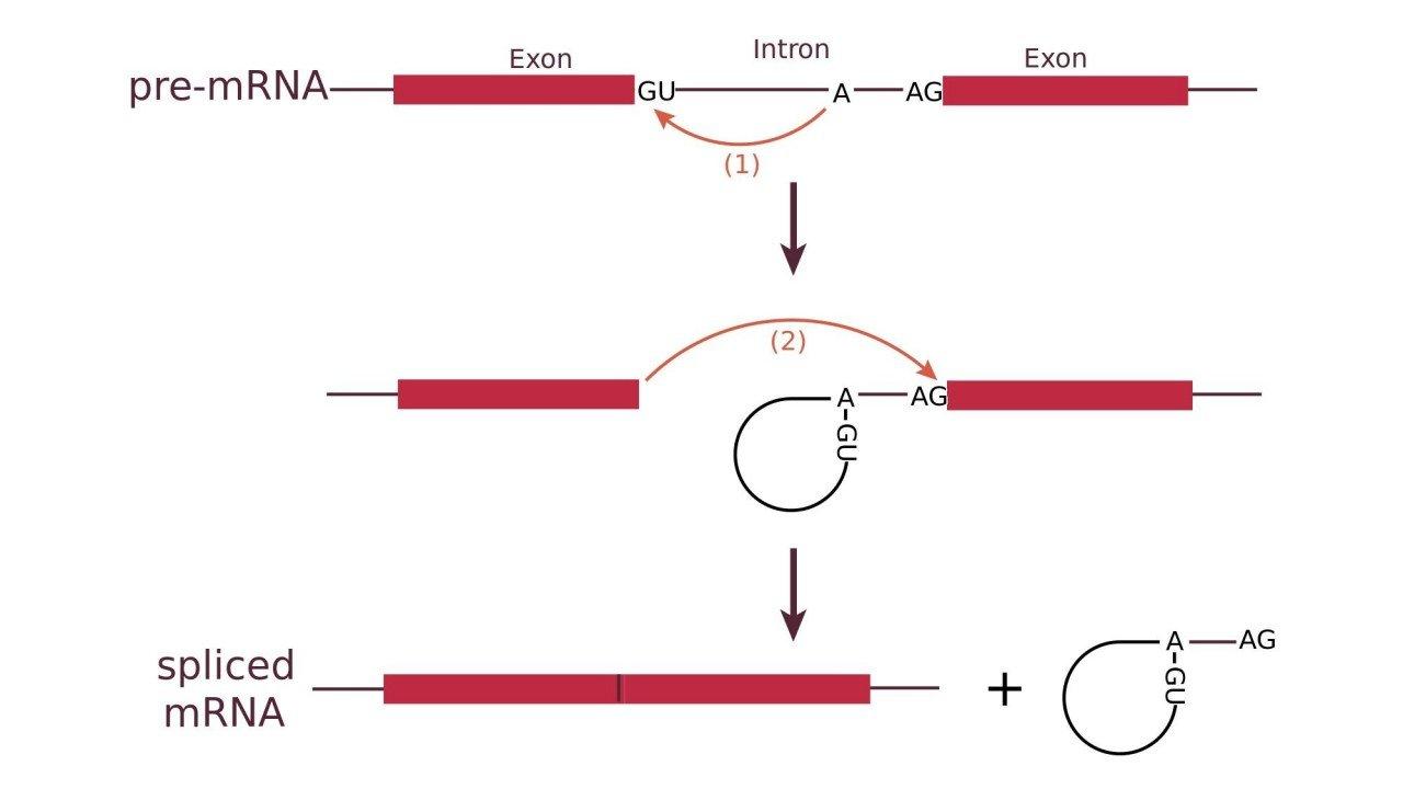 rna_splicing_reaction_bcsteve_wiki_1280x
