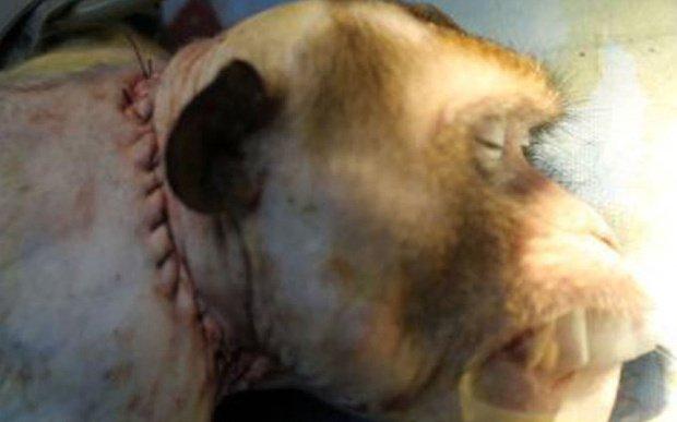 transplante de cabeça macaco