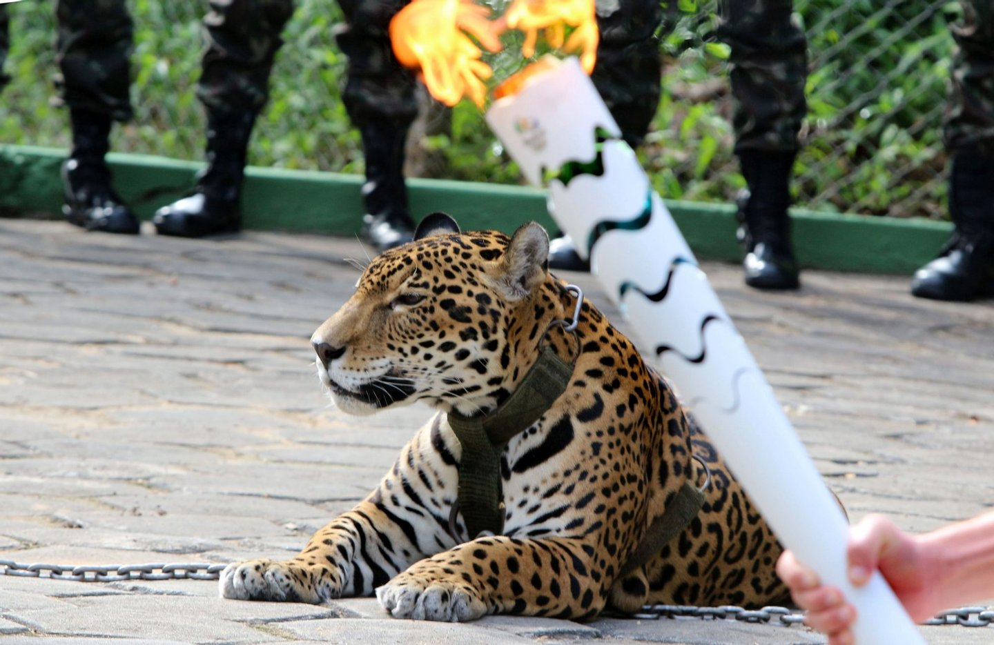 The Olympic Torch, hold by an athlete, is seen by a jaguar --symbol of Amazonia-- during a ceremony in Manaus, northern Brazil, on June 20, 2016. The jaguar, who was named Juma and lived in the local zoo, had to be shot dead by soldiers shortly after the ceremony when he escaped and attacked a veterinarian despite having been hit four times with tranquilizing darts. / AFP / Diario do Amazonas / Jair Araujo (Photo credit should read JAIR ARAUJO/AFP/Getty Images)