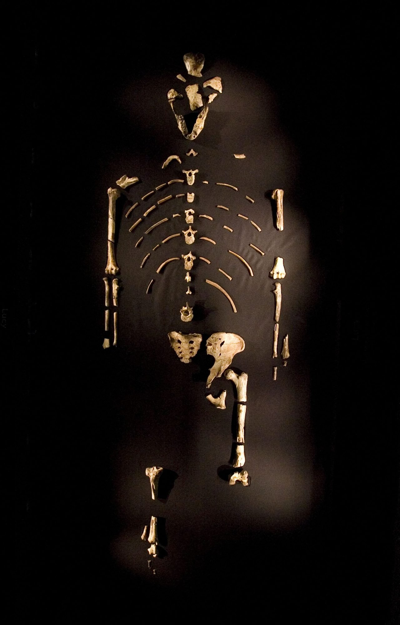 """HOUSTON - AUGUST 28: The 3.2 million year old fossilized remains of """"Lucy"""", the most complete example of the hominid Australopithecus afarensis, is displayed at the Houston Museum of Natural Science, August 28, 2007 in Houston, Texas. The exhibition is the first for the fossil outside of Ethiopia and has generated criticism among the museum community and others that believe the fossil is too fragile to be moved from it's home country. (Photo by Dave Einsel/Getty Images)"""