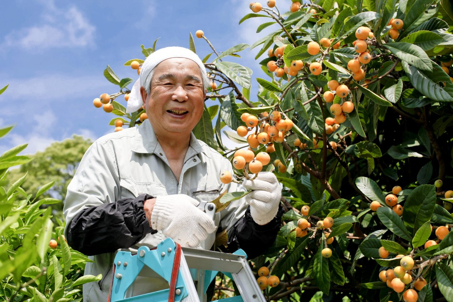 Loquat, Beauty In Nature, Vegetable Garden, Orchard, Flowerbed, Steps, Ladder, Senior Adult, Smiling, Moving Up, Working, Picking, Harvesting, Japanese Ethnicity, Asian Ethnicity, Action, Mobility, Freshness, Growth, Idyllic, Multi Colored, Bright, Green Color, Wood - Material, Full, Healthcare And Medicine, Rural Scene, Cheerful, Farmer, Occupation, Taiwan, Japan, China - East Asia, Fruit, Ripe, Crop, Summer, Staircase, Farm, Village, Sunshine Tree, It's Sunny, Jason Day - Actor, The Yellow Race,