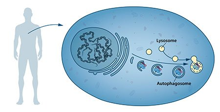 Our cells have different specialized compartments. Lysosomes constitute one such compartment and contain enzymes for digestion of cellular contents. A new type of vesicle called autophagosome was observed within the cell. As the autophagosome forms, it engulfs cellular contents, such as damaged proteins and organelles. Finally, it fuses with the lysosome, where the contents are degraded into smaller constituents. This process provides the cell with nutrients and building blocks for renewal.