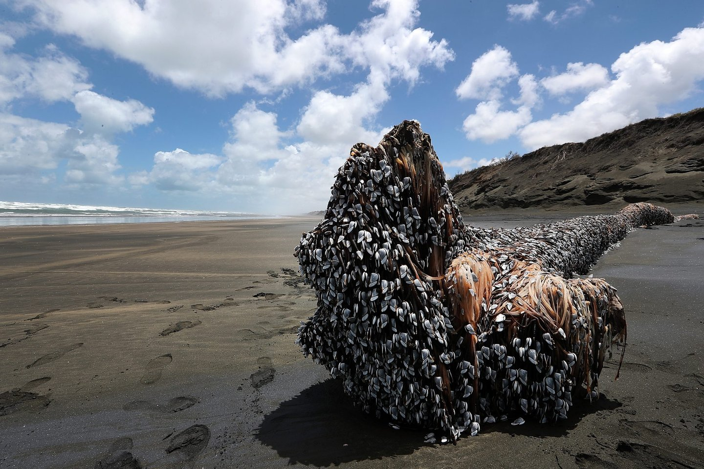 AUCKLAND, NEW ZEALAND - DECEMBER 12: A large driftwood tree covered in gooseneck barnacles sits in the sun on Auckland's west coast on December 12, 2016 in Auckland, New Zealand. The large object washed up on Muriwai beach on Saturday, 10 December. (Photo by Fiona Goodall/Getty Images)