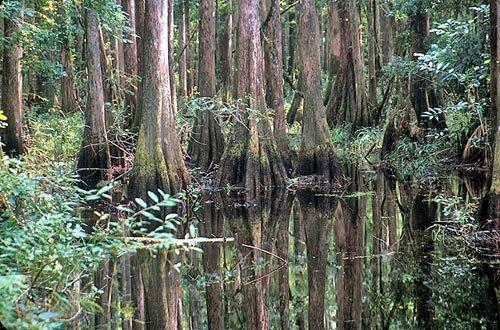 pcypress