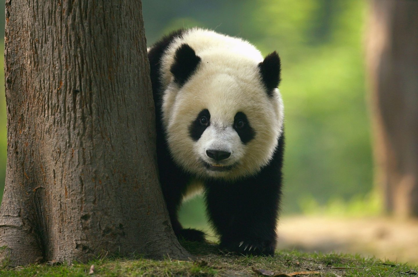 CHENGDU, CHINA - SEPTEMBER 19: A Giant Panda cub is seen on show at China's largest breeding Programme at Chengdu Research Base Of Giant Panda Breeding on September 19, 2007 in Chengdu, China. Chengdu Research Base of Giant Panda Breeding is dedicated to the conservation of native Chinese endangered species including the giant panda and red panda at its 105 hectacre site. (Photo by Paul Gilham/Getty Images)