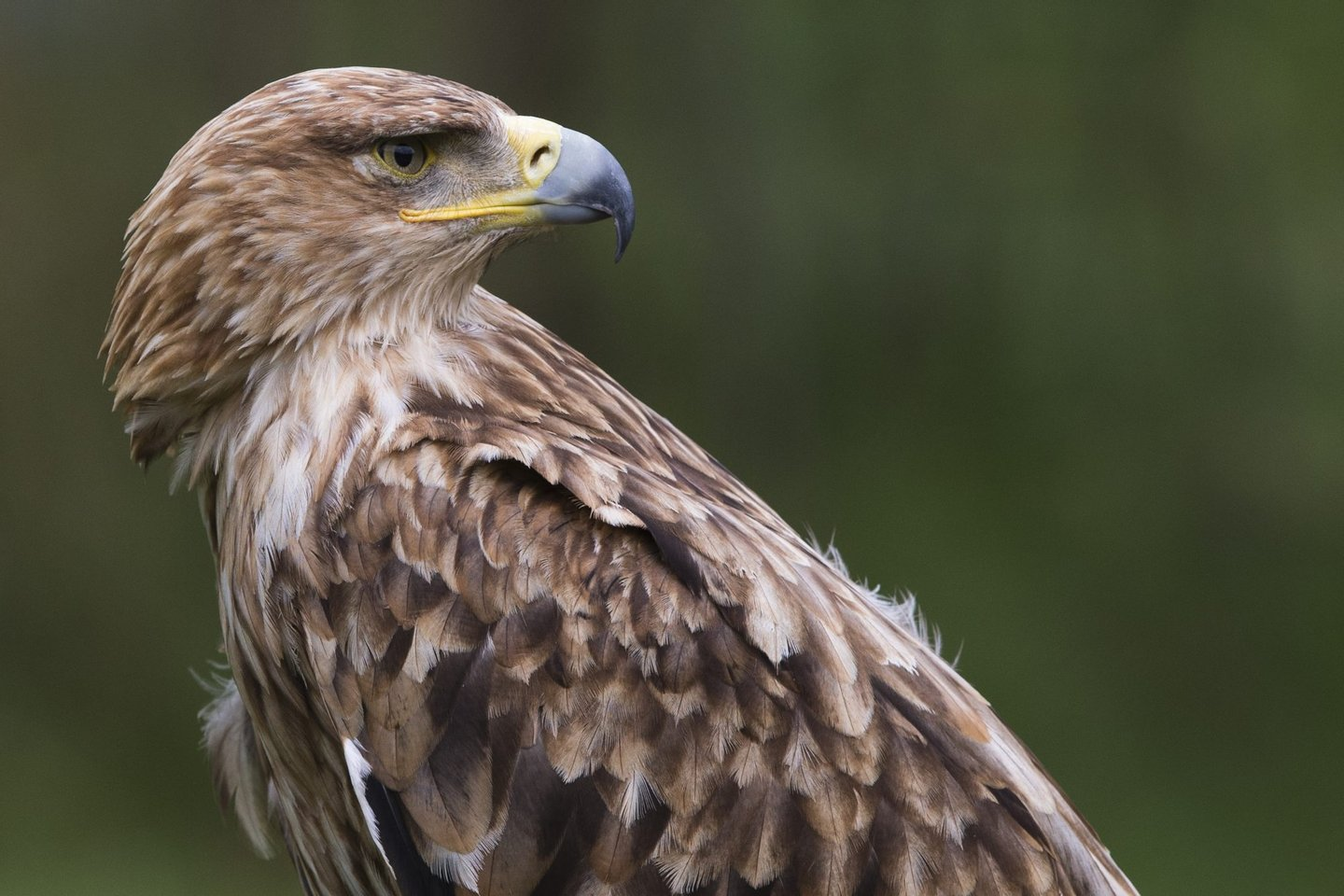 An Imperial Eagle looks on in the Rambouillet forest, on July 31, 2013, some 50 kms outside of Paris. AFP PHOTO / JOEL SAGET (Photo credit should read JOEL SAGET/AFP/Getty Images)