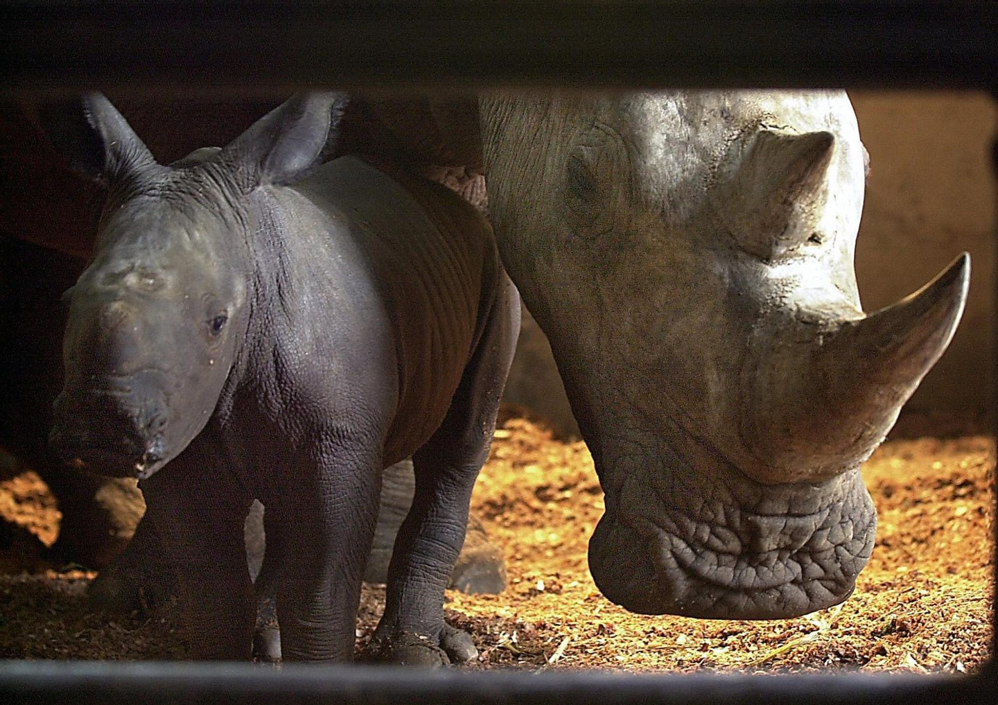 """A baby African white rhino (Ceratotherium simum) nicknamed """"Merdeka"""" stands next to his mother Hima, at the zoo in Bogor in West Java, 19 August 2003. The 50kg Merdeka (freedom) was born last 15 August. AFP PHOTO/Bay ISMOYO (Photo credit should read BAY ISMOYO/AFP/Getty Images)"""