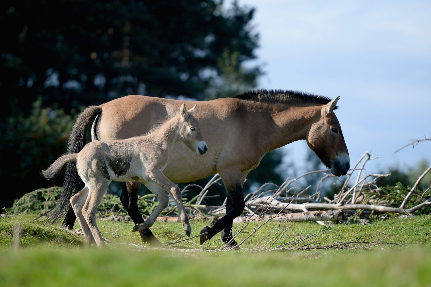 KINGUSSIE, SCOTLAND - SEPTEMBER 09: Ieda 12-year-old mare with her new Przewalski foal at the Highland Wildlife Park on September 9, 2013 in Kingussie, Scotland. The foal born on the 2nd September is the first new-born Przewalski's horse at the park in five years. Przewalski's horses were once extinct in the wild until a small captive bred population were reintroduced in Mongolia in the 1990s and are now listed as Endangered. (Photo by Jeff J Mitchell/Getty Images)