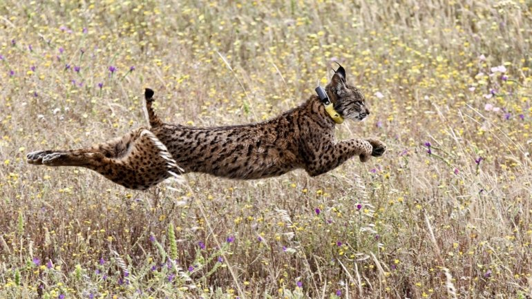 Iberian lynx project financing approved
