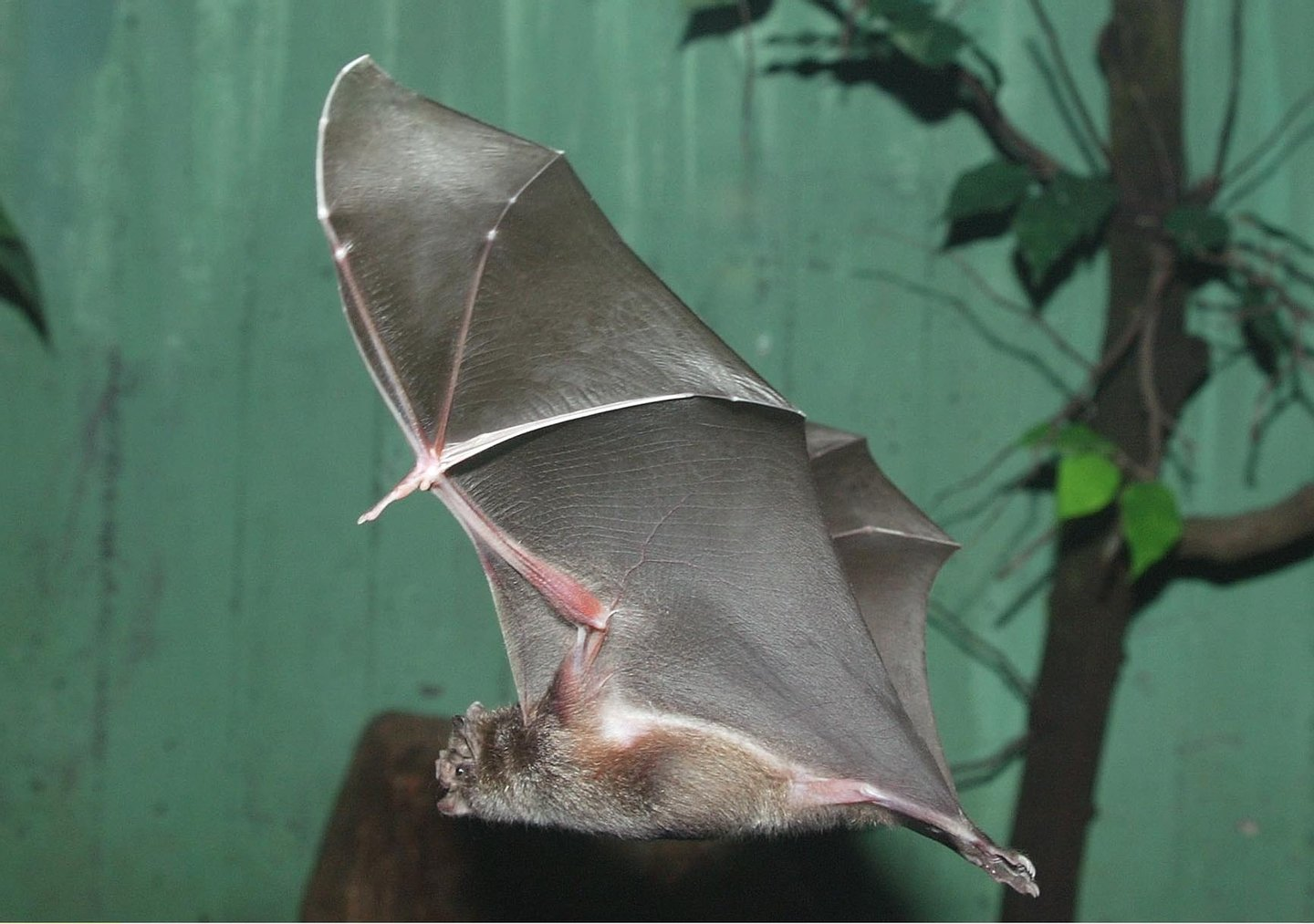 Germany; Berlin: vampire bat in the nocturnal house in the Berlin zoo - 2003